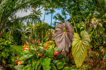 Anthurium flowers and tropical plants in the Hawaiian rainforest with blue sky