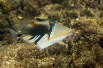 Picasso triggerfish Lhinecanthus aculeatus Kosrae Micronesia
