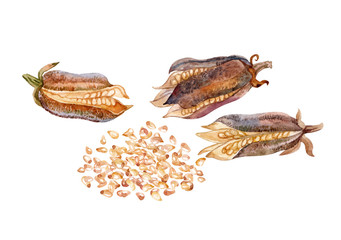 Dry pods and sesame seeds. Watercolor.