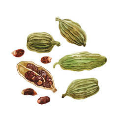 Pods and cardamom seeds. Watercolor.
