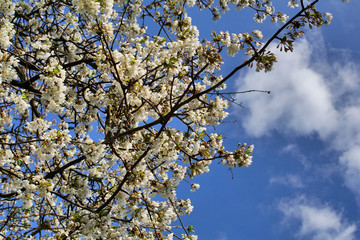 Apple tree white  flowers with blue sky background