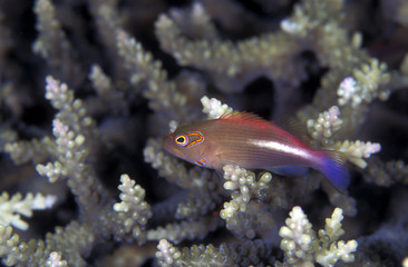 Freckled Hawkfish, Paracirrhites arcatus, Solomon Islands Micronesia.