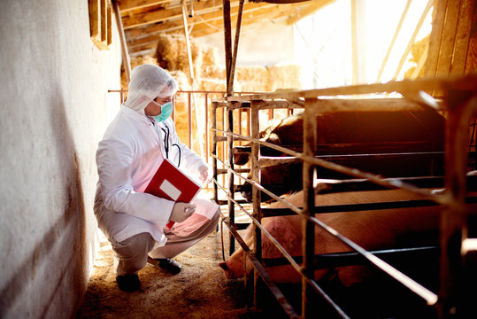 Veterinarian examining pig farm for some disease, checking each pig health.