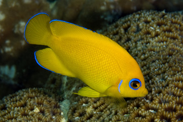 Lemonpeel angelfish, Centropyge flavissimus, feeding on coral polyps. Kritimati Island, Kribati.