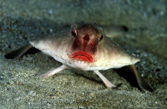 Redlip batfish, Ogcocephalus darwini, Galapagos Islands Ecuador