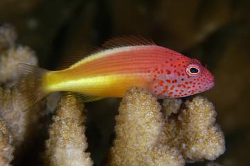 Freckled Hawkfish, Paracirrhites forsteri, Kosrae Micronesia.