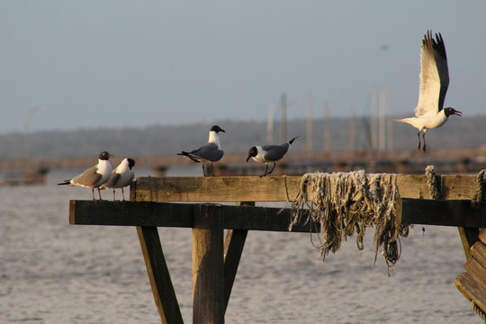 Seagulls on Mobile Bay