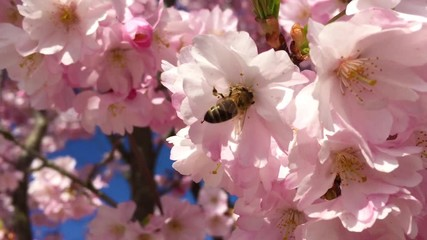 Fototapete - Biene an einem Kirschbaum - Bee on a cherry tree