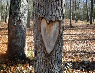 heart carved on oak tree in autumn woods