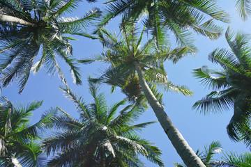 Coconut palm tree on blue sky background