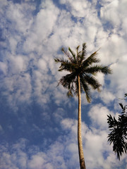 Palm tree in blue sky with cloud