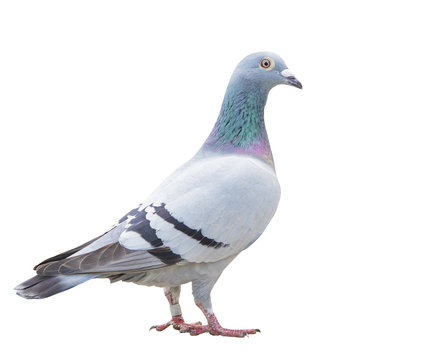 close up fulll body of speed racing pigeon bird isolate white background