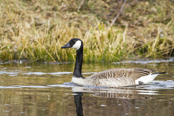 Canada goose-Large Waterbird of Europe prefer living in lakes