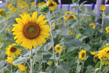 Sunflower fields, yellow flower.