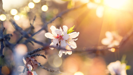 Klistermärke - Spring blossom background. Beautiful nature scene with blooming almond tree