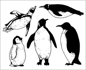 set of isolated hand drawn pinguin contours
