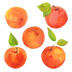 watercolor ripe apricots