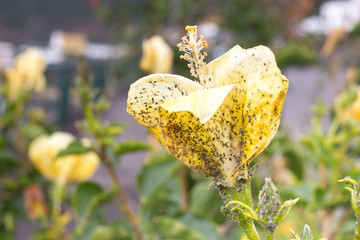 Mealybug on hibiscus flower. Plant aphid insect infestation. Thick