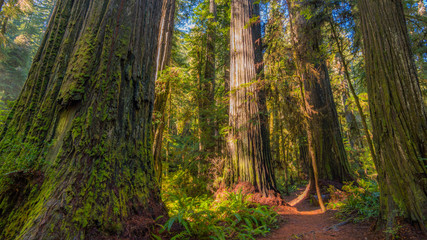 A path in the fairy green forest. The sun's rays fall through the branches. Redwood national and state parks. California, USA