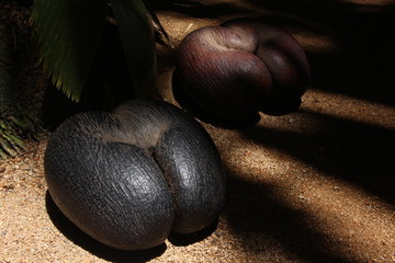 Coco de Mer Fruit / Vallée de Mai Nature Reserve, Praslin Island, Seychelles, Indian Ocean, Africa. The park is the habitat of the endemic coco-de-mer, which is the world´s largest double nut.
