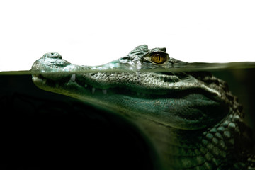 crocodile alligator close up