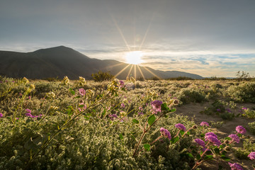 Sand verbena in the Colorado desert with the sun rising over the mountains.