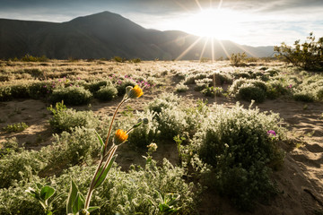 Wildflowers in the Colorado desert with the sun coming over the mountains.