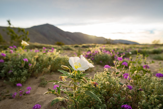 Desert wildflowers in the Colorado desert at sunrise.