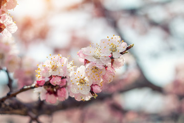 Spring background art with pink blossom. Beautiful nature scene with blooming tree and sun flare. Sunny day. Spring flowers. Beautiful orchard. Abstract blurred background. Shallow depth of field.