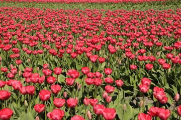 Tulpen, Tulpenfeld, Amsterdam
