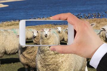 Herde Schafe am Deich mit smartphone fotografieren