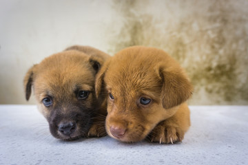 Close up of twin puppies loving.