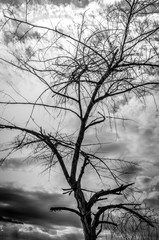 The dry branch of tree over sky. Black and white