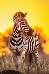 Wall Murals Zebra Plains zebra in Kruger National park, South Africa