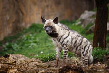 Fotorolgordijn Hyena Striped hyena (Hyaena hyaena sultana)