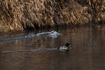 Early spring. Wild ducks swimming on the river. They fly away from people, only seeing them coming.