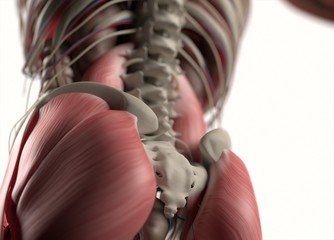 Human anatomy body. Muscular, skeletal, vascular & nervous system. Beautiful, professional lighting. 3D illustration.