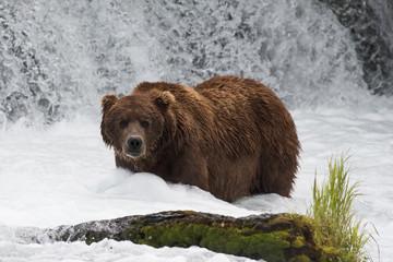 Large brown bear at Brooks Falls