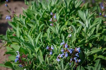 salvia blue flowers blossom