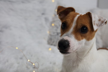 Jack Russell terrier portrait. Animal, pet and dog concept.