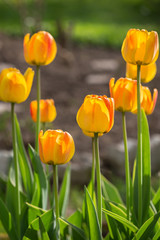 Blossoming yellow tulips. Springtime