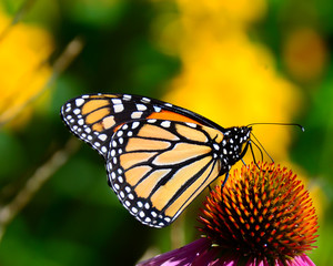 Monarch butterfly feeding on pink cone flower