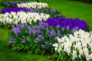 beautiful  hyacinths. Beautiful flowers background
