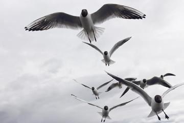 Black-headed seagulls on sky background