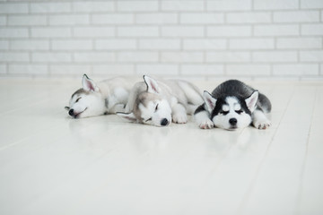 Husky puppies sleeping