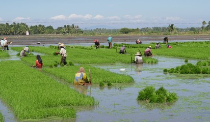 Rice field preparation. Farm workers prepare the rice seedlings for planting in rice fields in Banaybanay, Davao Oriental Philippines