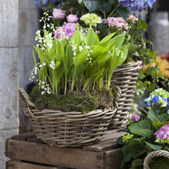 the White lilies of the valley in a wicker basket