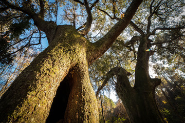 Towering Oak