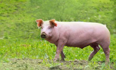 ein glückliches Hausschwein läuft auf einer Wiese herum