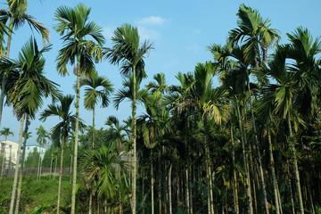 betel palms in the garden